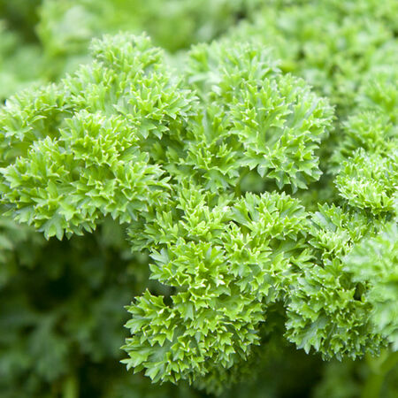 Triple Curled, Parsley Seed - Packet image number null