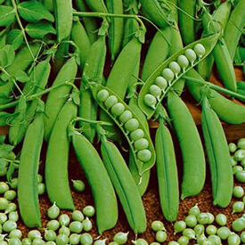 Little Marvel, Pea Seeds