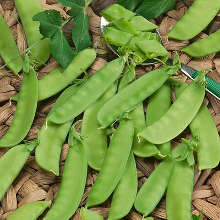 Mammoth Melting, Organic Pea Seeds - Packet image number null