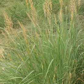 Indiangrass, Grass Seed