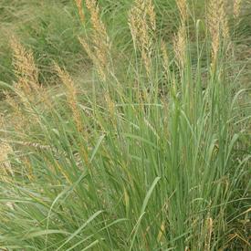 Indiangrass, Grass Seed