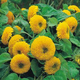 Teddy Bear, Sunflower Seeds