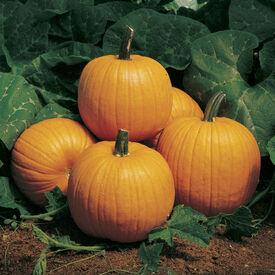 Howden, Pumpkin Seeds