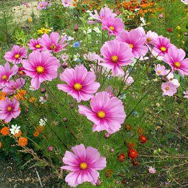 Radiance, Cosmo Seeds