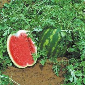 Top Gun, (F1) Watermelon Seeds