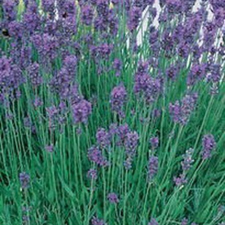 Munstead, Lavender Seeds - Packet image number null