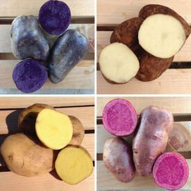 Color Mix, Seed Potatoes