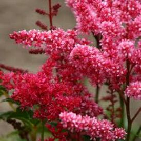 Bella Mix, Astilbe Seeds