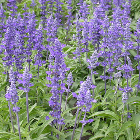 Victoria, Salvia Seeds - Packet image number null