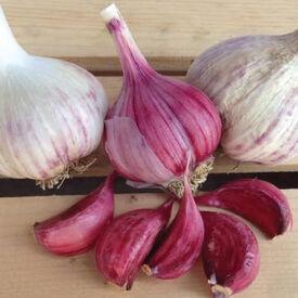 Spanish Roja, Garlic