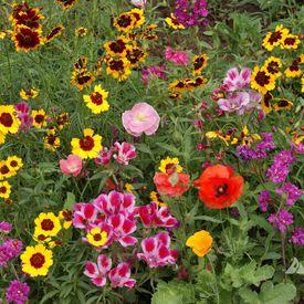 Western Pollinator Blend, Wildflower Seed