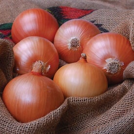 Avalon, (F1) Onion Seeds