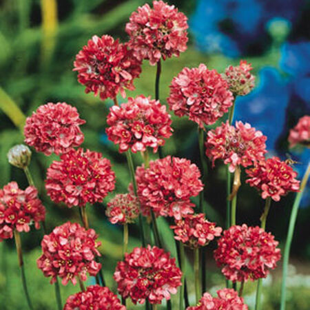 Joystick Red, Armeria (Lady's Cushion) - Packet image number null