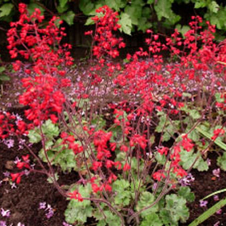 Ruby Bells, Heuchera Seeds image number null