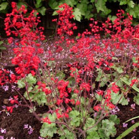 Ruby Bells, Heuchera Seeds image number null