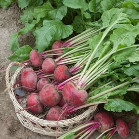 Lutz Green Leaf Pink Stem, Beet Seeds