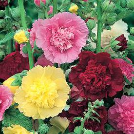 Carnival Mix, Hollyhock Seeds
