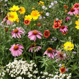 Bee Feed Blend, Wildflower Seed