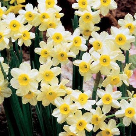 Minnow, Daffodil Bulbs image number null
