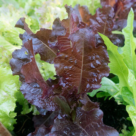 Sunset, Organic Lettuce Seeds - Packet image number null