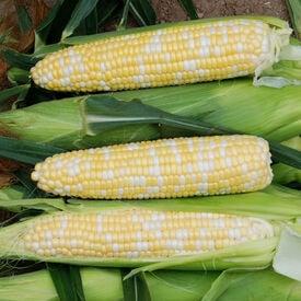 Euphoria, (F1) Corn Seed