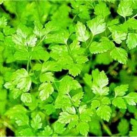 Plain Leaf, Chervil Seeds - Packet image number null