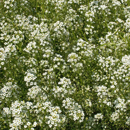 Sweet, Alyssum Seeds - Packet image number null