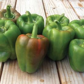 California Wonder, Pepper Plants