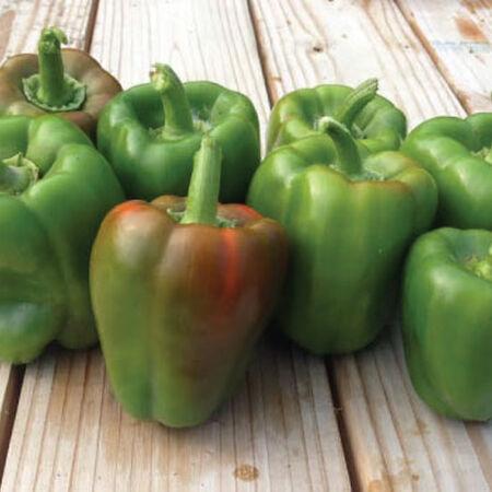 California Wonder, Pepper Plants image number null