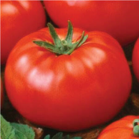 Ace 55, Tomato Seeds image number null