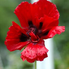 Great Red, Poppy Seeds