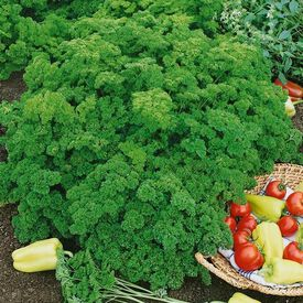 Evergreen, Organic Parsley Seed