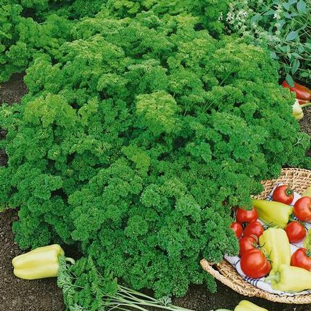 Evergreen, Organic Parsley Seed - Packet image number null