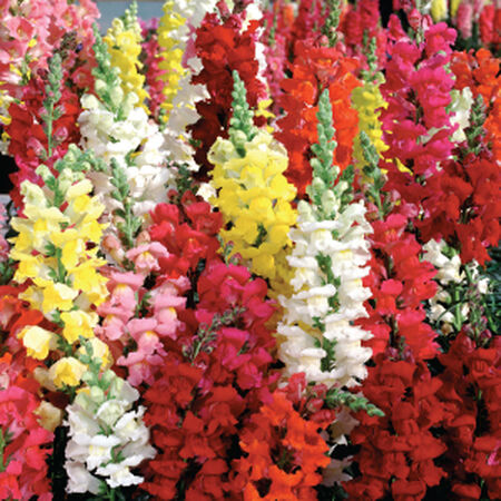Liberty Mix, Snapdragon Seeds - Packet image number null