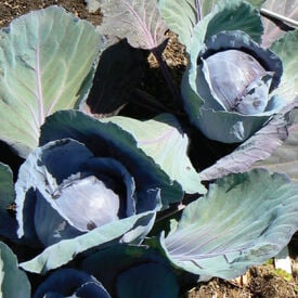 Blue Lagoon, (F1) Cabbage Seeds