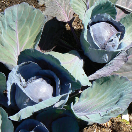 Blue Lagoon, (F1) Cabbage Seeds image number null