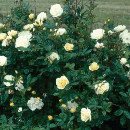 White Bush, Rose Seeds - Packet image number null