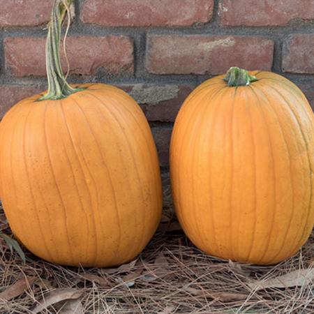 Harvest King, Pumpkin Seeds - Packet image number null