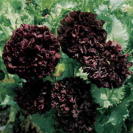 Park's Black Peony, Poppy Seeds - Packet image number null