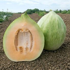 White Crenshaw, Melon Seeds