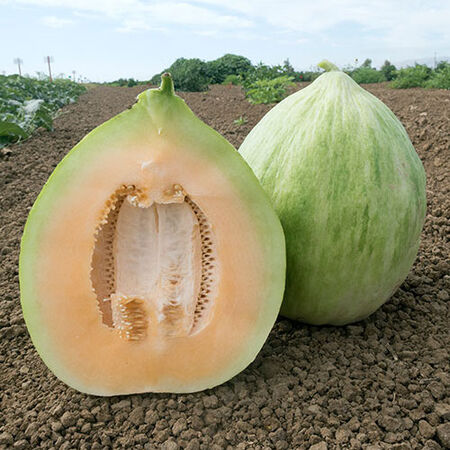 White Crenshaw, Melon Seeds - Packet image number null