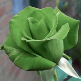 Green Bush, Rose Seeds