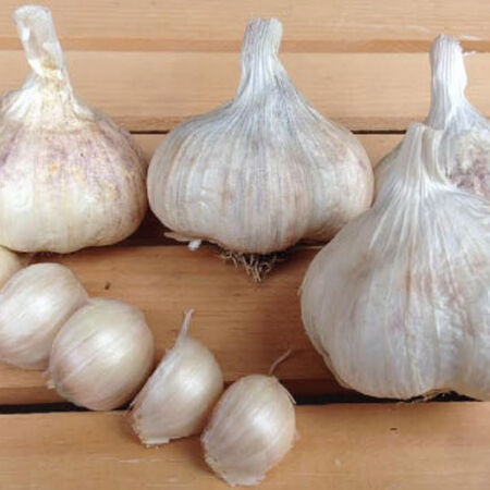 Amish Rocambole, Garlic image number null