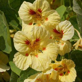 Peach Melba, Nasturtium Seeds