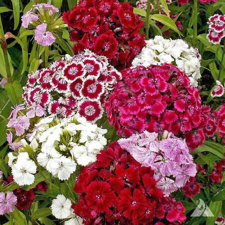 Sweet William, Dianthus - Packet image number null