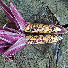Red Husk Spectrum, Corn Seed