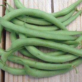 Contender, Bean Seeds