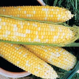 Honey & Cream, (F1) Corn Seed