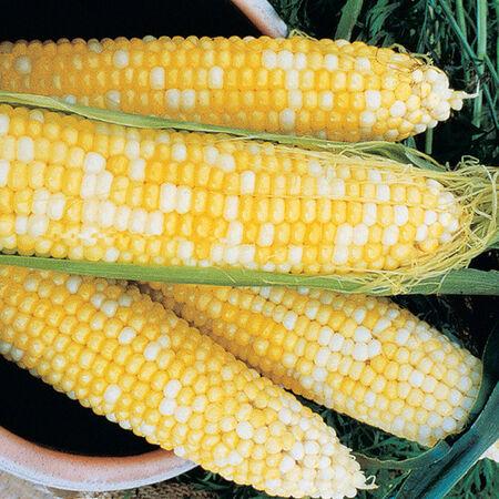 Honey & Cream, Corn Seed - 1/4 Pound image number null