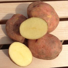 Red Gold, Seed Potatoes